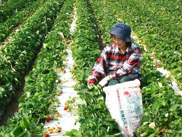 イチゴ農家 花田さん