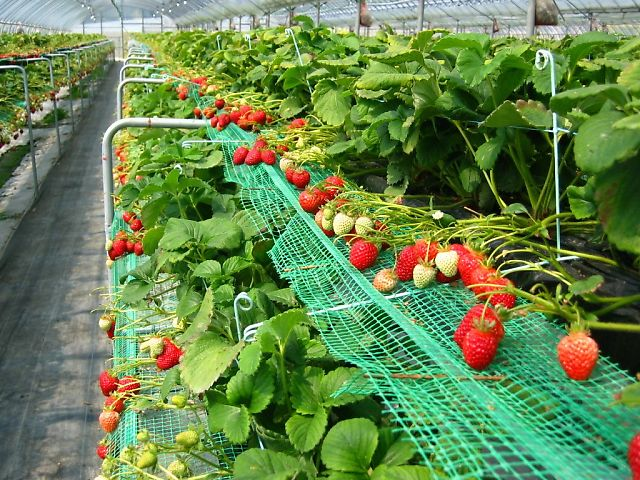 幸の香・イチゴ栽培施設
