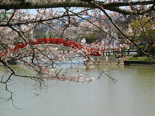 垣生公園桜