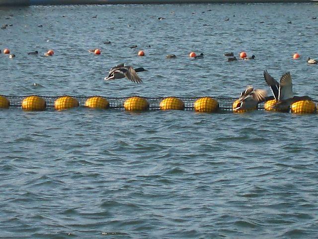 水門湖のカモの集団