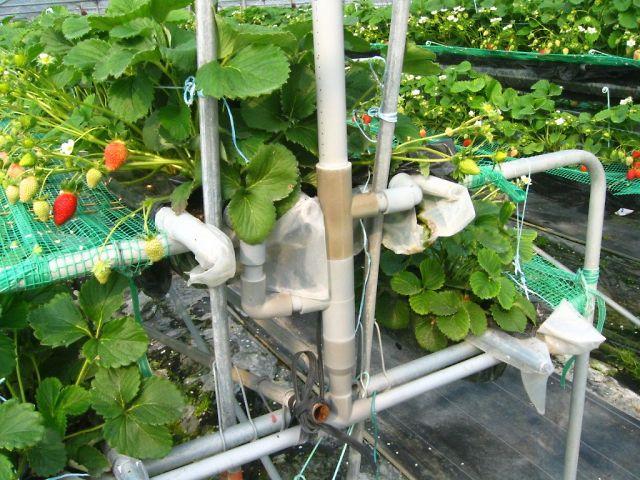 イチゴハウス水耕栽培施設