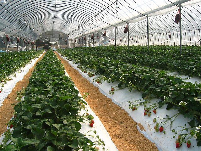 露地栽培のイチゴハウス