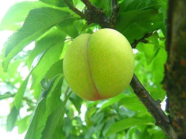 スモモの果実