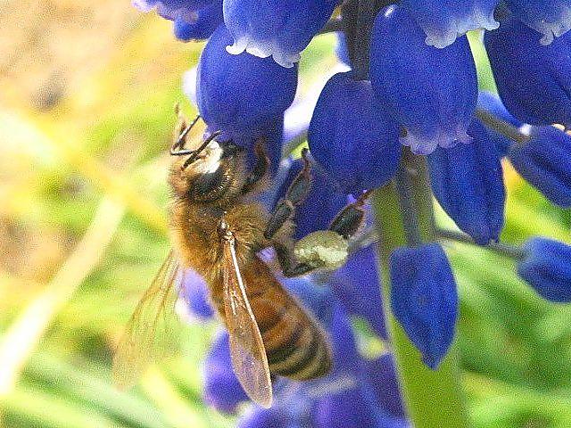 ムスカリと蜜蜂