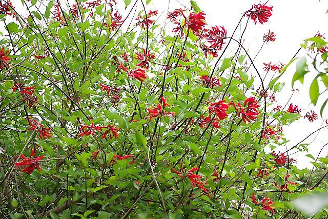 珊瑚紫豆 (さんごしとう)