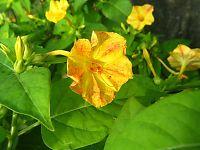 白粉花(黄、橙混合花)