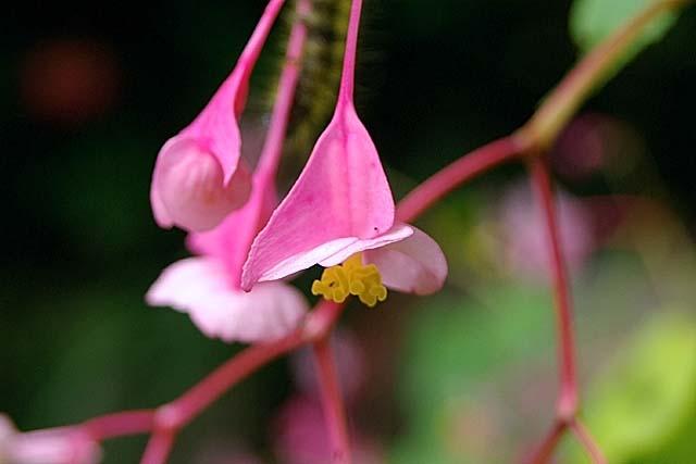 秋海棠(雌花)