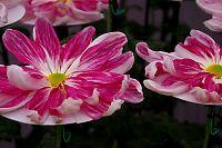 西日本菊花展