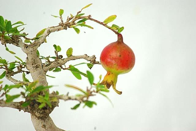 石榴(ざくろ)の盆栽