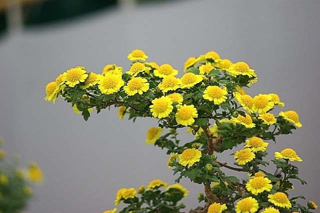 小菊の盆栽仕立て