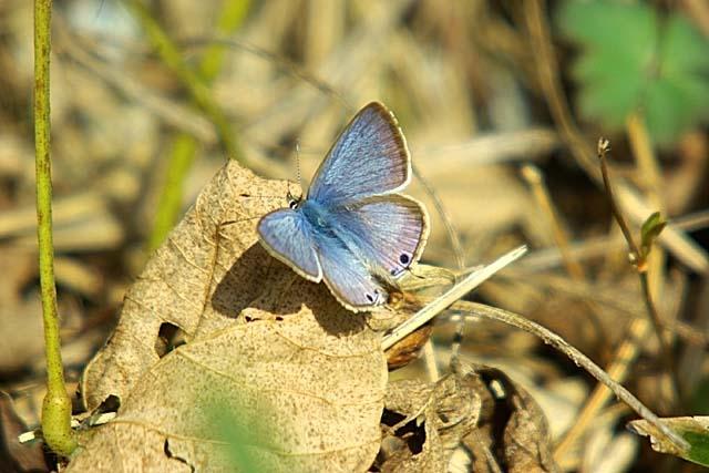 蝶(ウラナミシジミ)