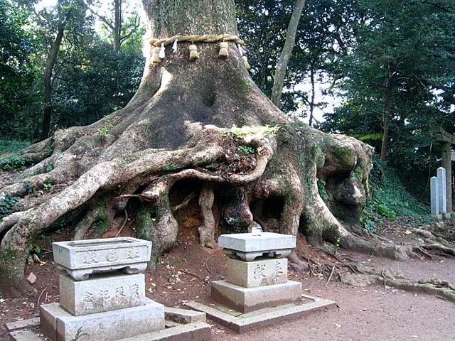 光岡天満宮の大楠の根っこ